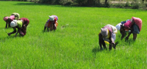 UNILORIN, ABUAD scientists develop anti-cancer rice