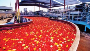 5,000 farmers not enough to supply tomato to Dangote's factory